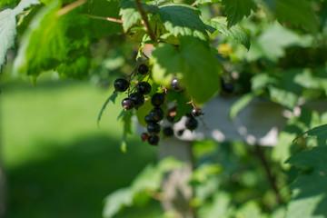 growing blackcurrants