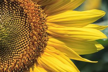 Sunflower Portrait
