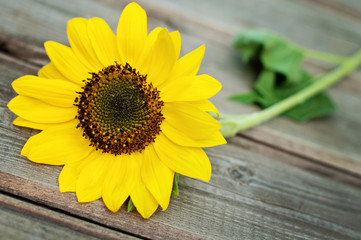 Sunflower on a wooden fence