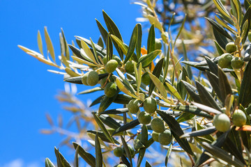 Detail of olive tree with fresh olives