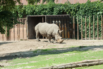 Obraz Nosorożec w zoo - fototapety do salonu