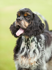 Portrait of a puppy cocker spaniel on a green background