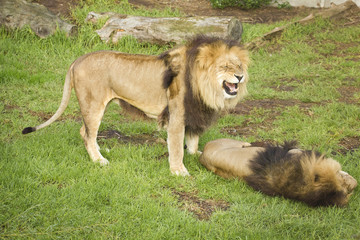 Lions having arguments.