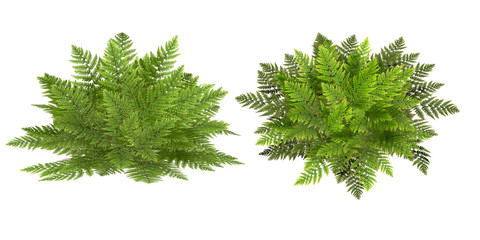 fern, isolated on the white background