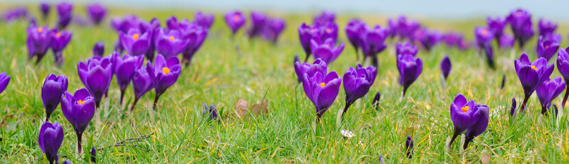 purple crocus iridaceae in the grass, selective focus