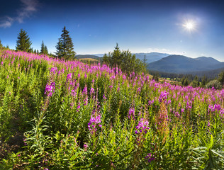 Wall Mural - Beautiful summer landscape in the mountains with pink flowers