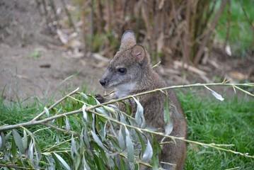 Little kangaroo at the zoo