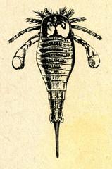 Eurypterus fischeri (Silurian, Estonia)