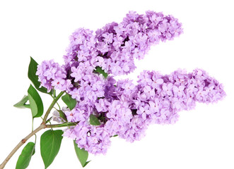 Foto auf Leinwand Flieder Beautiful lilac flowers isolated on white