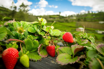 Organic strawberry fiels
