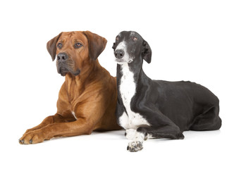 Fotobehang - greyhound and rhodesian ridgeback