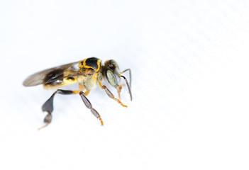 Macro of bee isolated on white