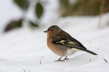 Fotoväggar - Chaffinch, Fringilla coelebs