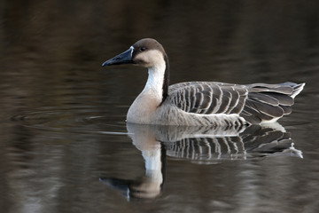 Chinese goose, Anser anser domesticus