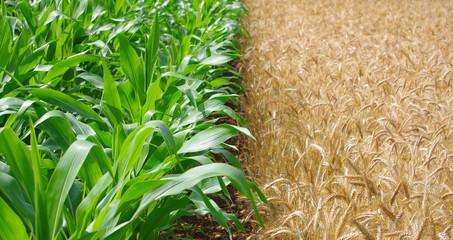 Polyculture, champs de mais et de blé cote à cote