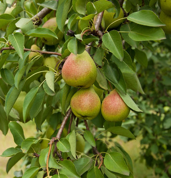 Pear fruits in garden