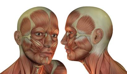 Wall Mural - Muskelstruktur Kopf Mann