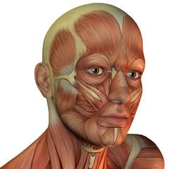 Wall Mural - Muskelstruktur männlicher Kopf
