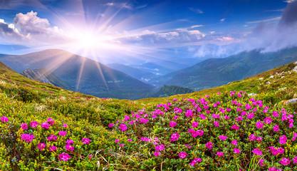 Fototapeta Magiczny różowy różanecznik kwitnący w górach obraz
