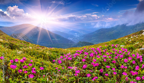 Wall mural Magic pink rhododendron flowers on summer mountain