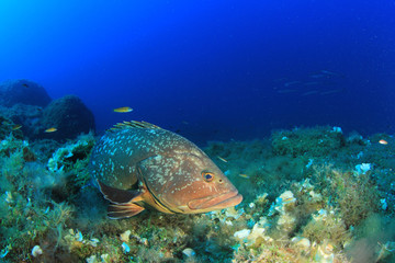 Dusky Grouper fish in Mediterranean Sea