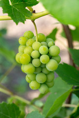 green grapes growing