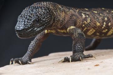 Beaded lizard / Heloderma horridum