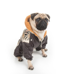 Stylish dog. Top view of funny little dog in clothes sitting iso