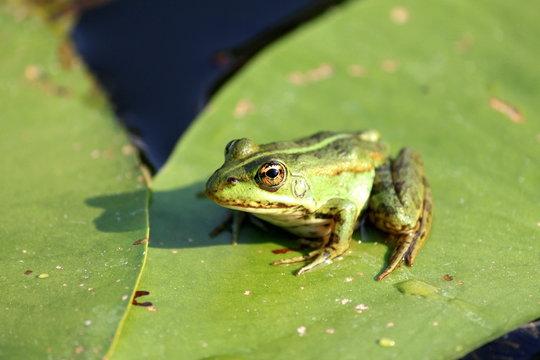 a Frog resting on a lotus leaf