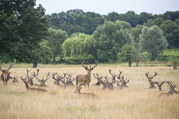 Red deet stag herd in Summer field landscape