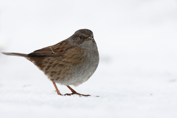 Fotoväggar - Hedge Sparrow or Dunnock, Prunella modularis,