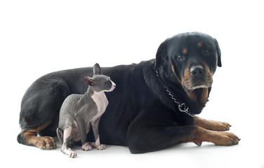 Sphynx Cat and rottweiler