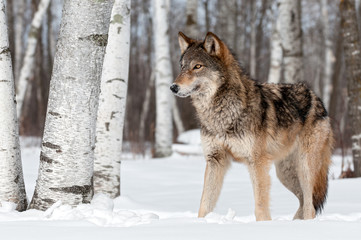 Fotomurales - Grey Wolf (Canis lupus) Stands Towards Left