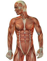 Wall Mural - Muskelstruktur Mann Vorne