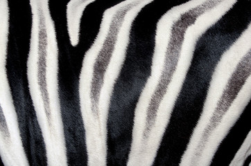 The structure of zebra skin. Close-up.