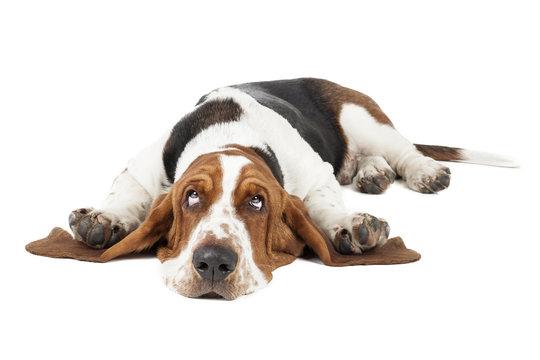 Basset hound dog lying on a white background