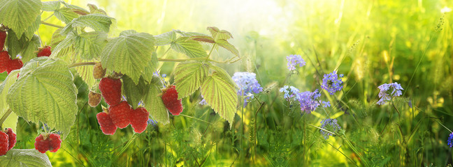 Raspberry.Garden raspberries at Sunset.Soft Focus