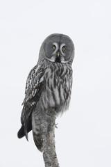 Wall Mural - Great-grey owl, Strix nebulosa