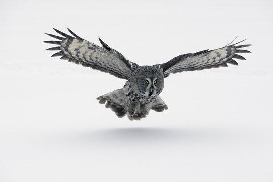 Great-grey owl, Strix nebulosa