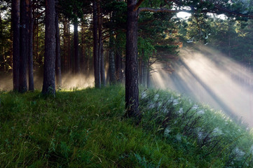 the sun's rays in a pine forest