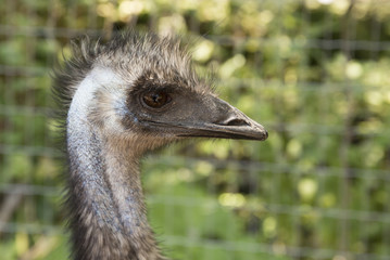 Profile of ostrich head