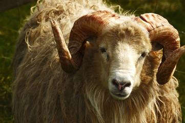 Adult ram sheep in a grass field