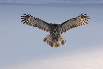 Great-grey owl, Strix nebulosa