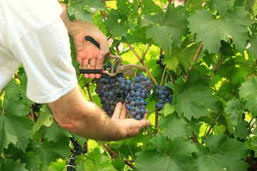 Picking grapes - harvest time