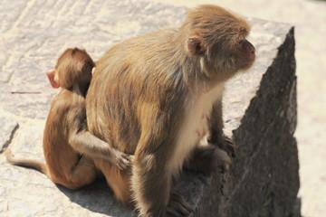 Mother and son-macacus rhesus apes-Pashupatinath-Kathmandu. 0286