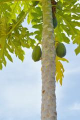raw papaya fruits on tree
