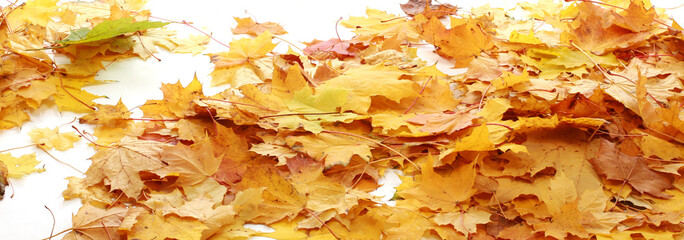 Autumn maple leaves Background isolated on white