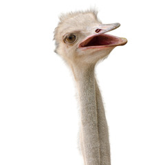 Ostrich face close up is on white background
