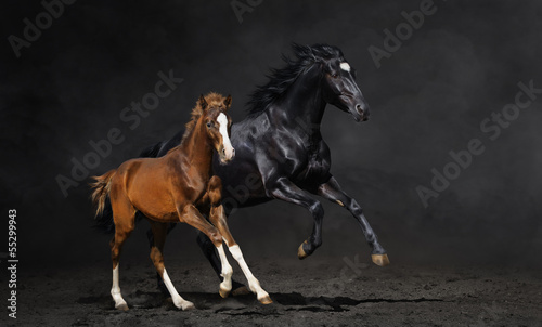 Fototapete Black mare and her bay foal