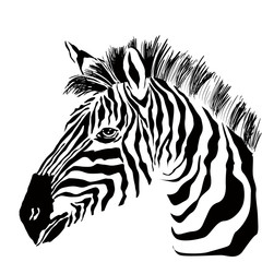 Portrait of zebra on the white background